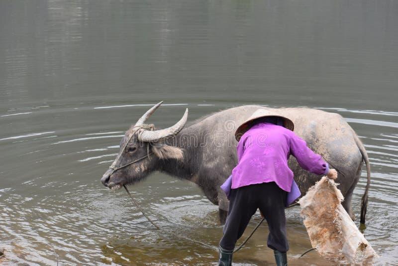沐浴水牛的越南妇女的特写镜头在工作,越南,河内以后 免版税库存照片