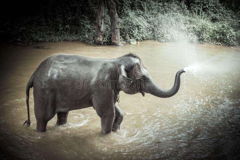 沐浴大象在Sa Mae大象野营, Mae外缘,清迈 图库摄影