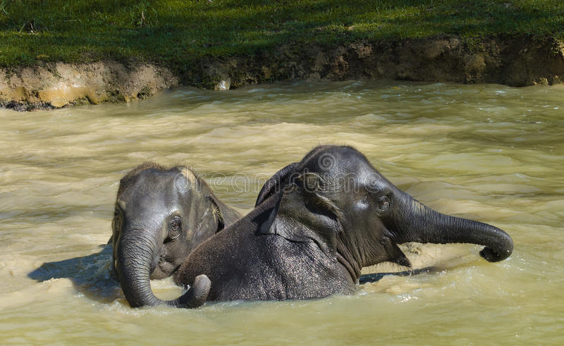 沐浴的大象-画象和外形 图库摄影