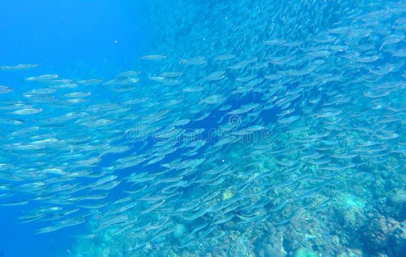 沙丁鱼学校转盘在蓝色海洋水中 巨型的鱼学校海里的照片 免版税库存照片