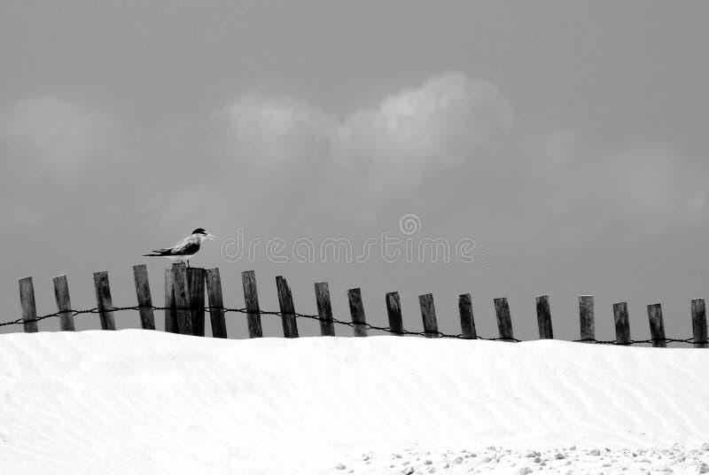 沙丘沙子海运燕鸥 库存照片