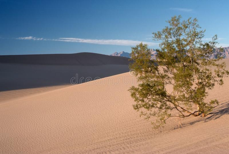 沙丘豆科灌木沙子结构树 图库摄影