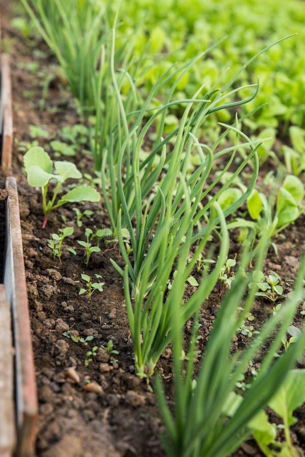 沙拉的增长的绿色 新鲜,年轻和嫩莴苣、芥末、芝麻菜和葱叶子在庭院里增长 免版税库存图片