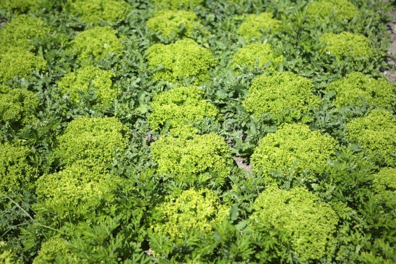 沙拉耕种 免版税库存照片