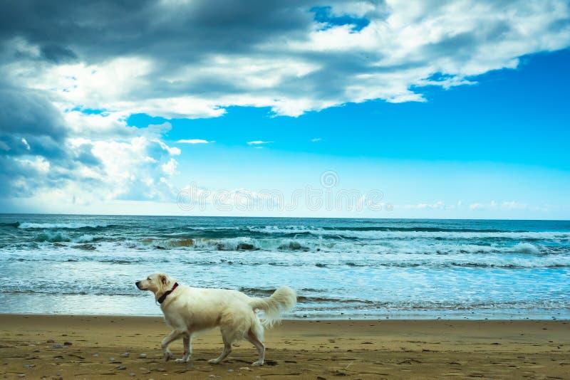 沙滩上的白狗,阴天的海边 免版税库存图片