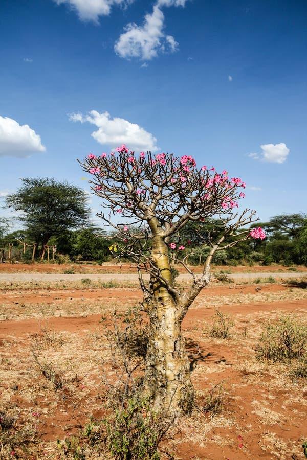 沙漠上升了,相当和罕见的植物 库存图片