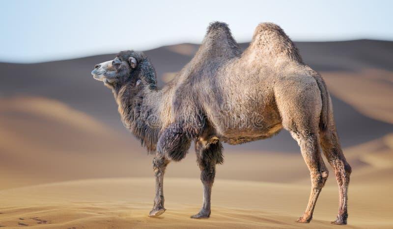 沙漠中的骆驼 背景中的沙丘 库存图片
