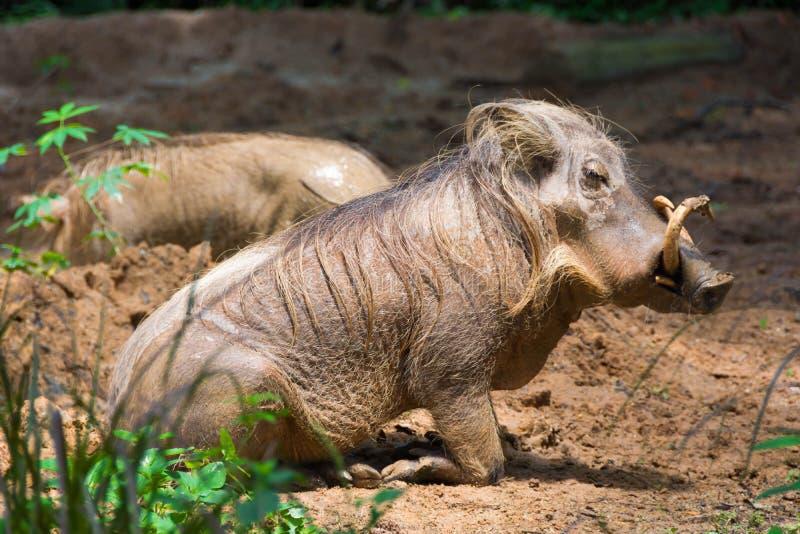 沙漠使用在泥的Warthog 免版税库存图片