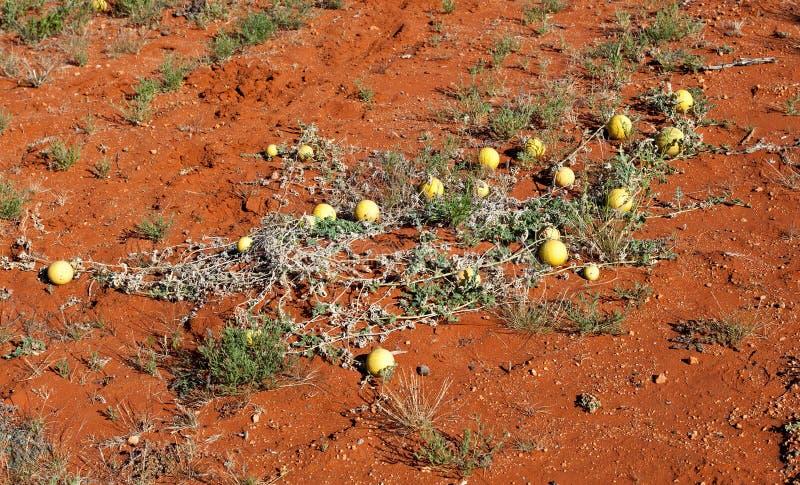 沙漠南瓜澳大利亚 免版税库存图片