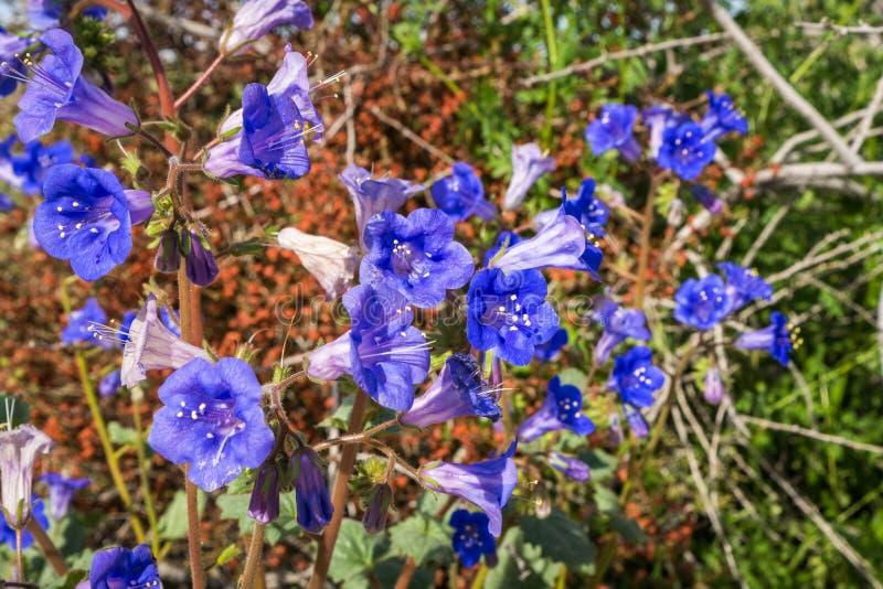 沙漠响铃Phacelia campanularia花,约书亚树国立公园,加利福尼亚 免版税库存图片
