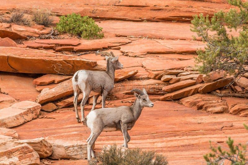 沙漠在岩石的大角野绵羊 库存图片