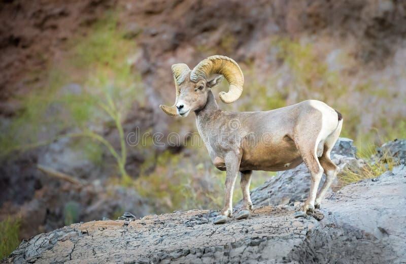 沙漠在峭壁边的大角野绵羊 库存照片