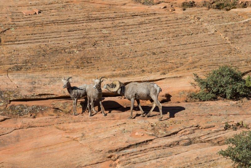 沙漠在车轮痕迹的大角野绵羊 免版税图库摄影