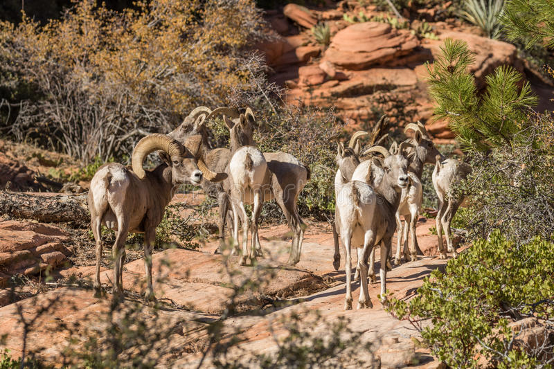 沙漠在车轮痕迹的大角野绵羊 图库摄影