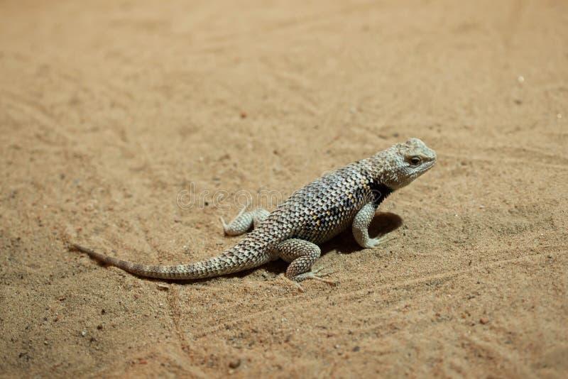 沙漠多刺的蜥蜴(剌蜥蜴树magister) 库存图片