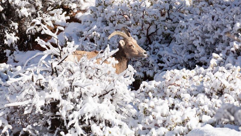 沙漠大有角的绵羊母羊在用新鲜的雪盖的枝杈浏览 免版税库存照片