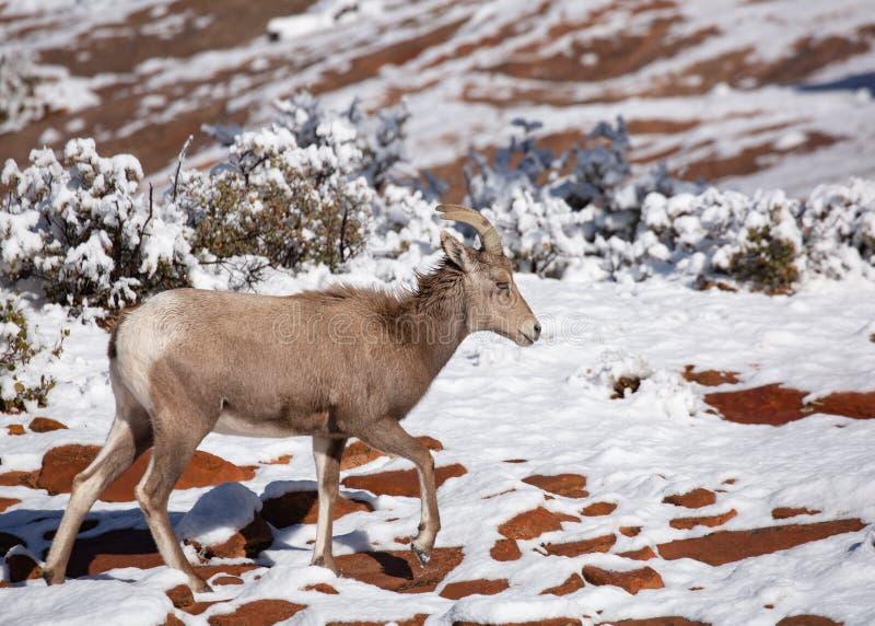 沙漠大有角的绵羊母羊横跨与涌现从雪的红砂岩补丁的一个积雪的倾斜走 免版税图库摄影