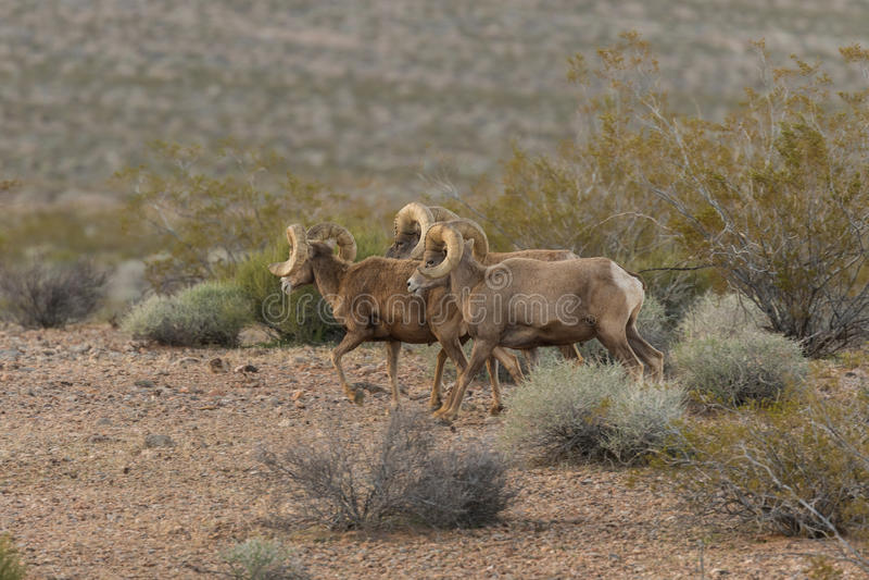 沙漠大角野绵羊公羊带  库存图片