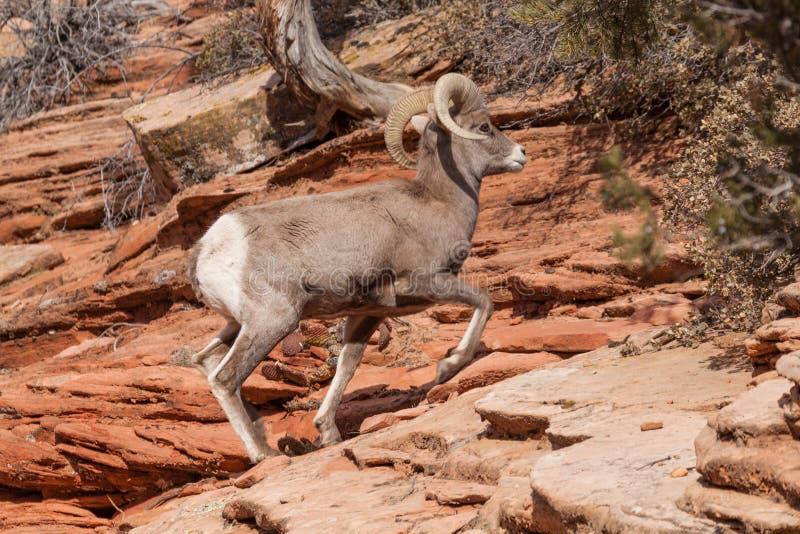 沙漠大角野绵羊Ram走 免版税图库摄影