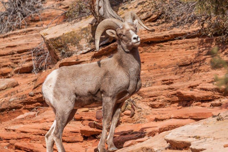 沙漠大角野绵羊Ram 库存图片