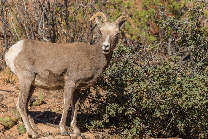 沙漠大角野绵羊母羊 库存照片