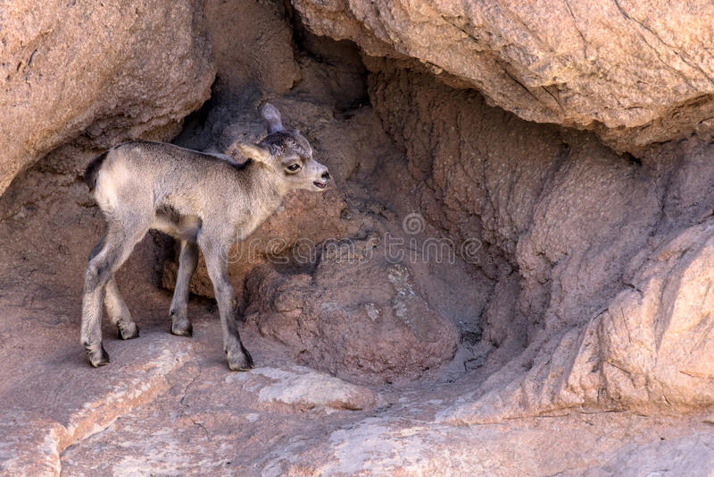 沙漠大角野绵羊羊羔 图库摄影