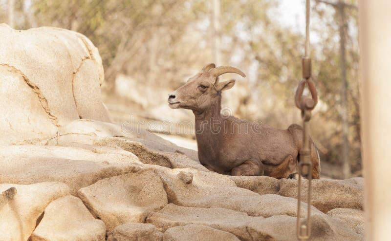 沙漠大角野绵羊,羊属canadensis 免版税库存照片