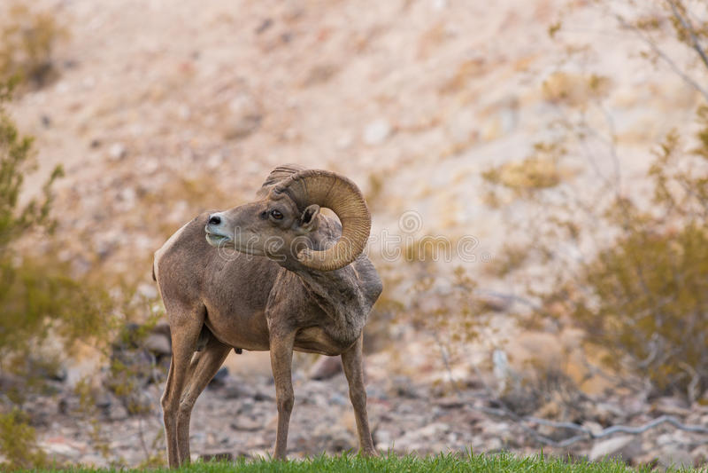 沙漠大角野绵羊Ram佛莱明 库存图片