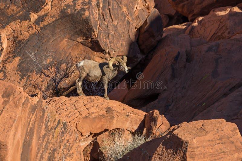 沙漠大角野绵羊Ram 免版税库存照片