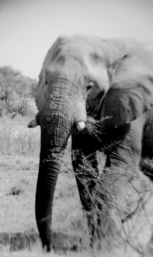 沙漠大象纳米比亚 免版税图库摄影