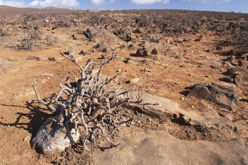 沙漠座莲在阿曼 免版税库存图片
