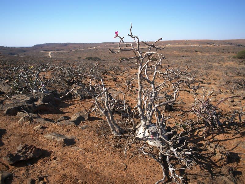 沙漠座莲,阿曼 图库摄影