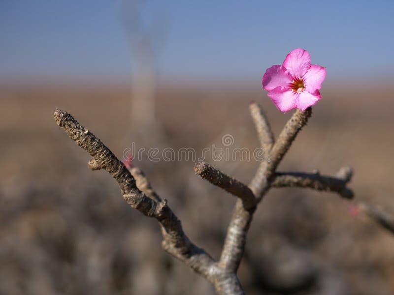 沙漠座莲,阿曼 免版税库存图片