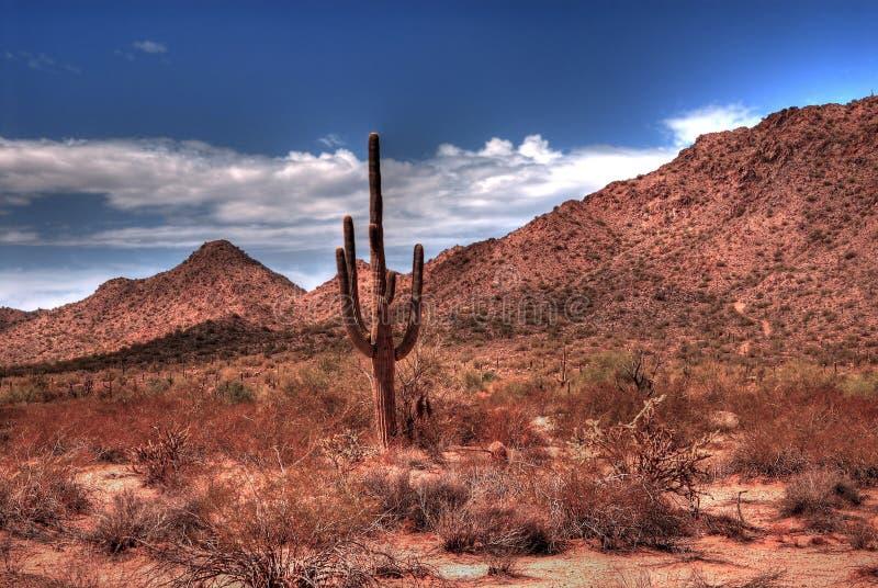 沙漠柱仙人掌 免版税图库摄影