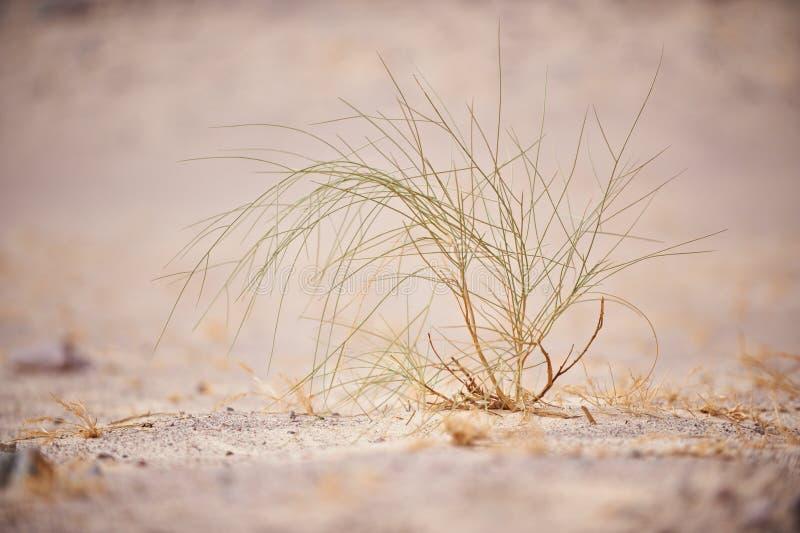 沙漠植物在西奈 库存照片