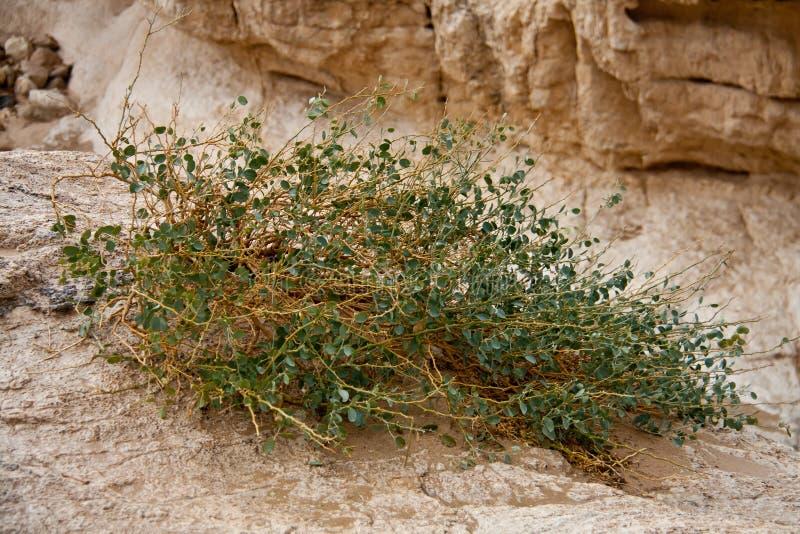 沙漠欲望花活 库存照片