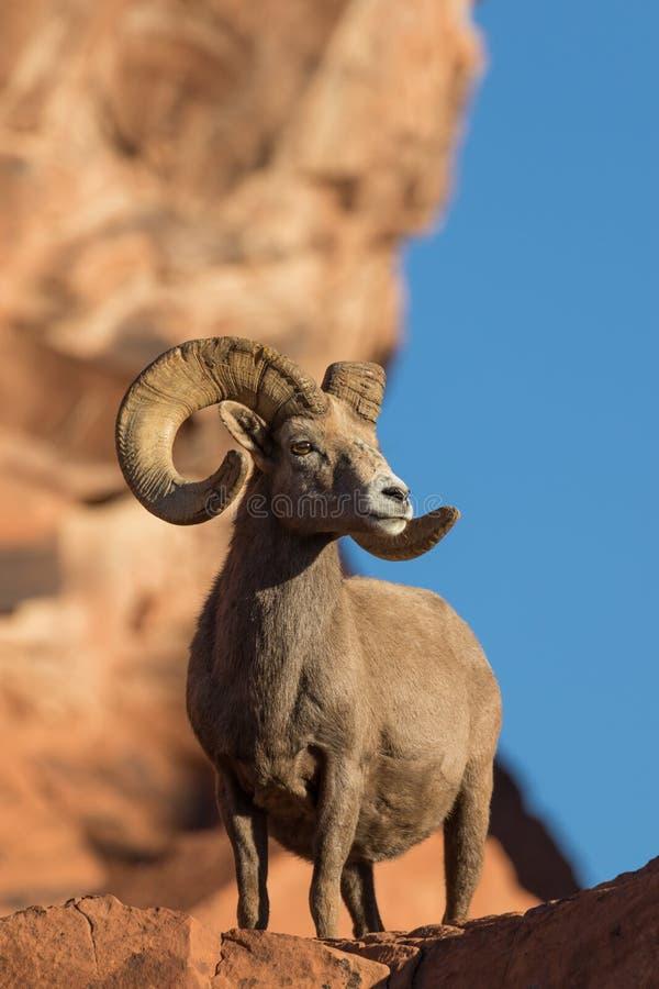 沙漠比格霍恩Ram摆在 免版税库存图片
