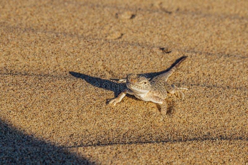 沙漠沙子壁虎 免版税库存照片