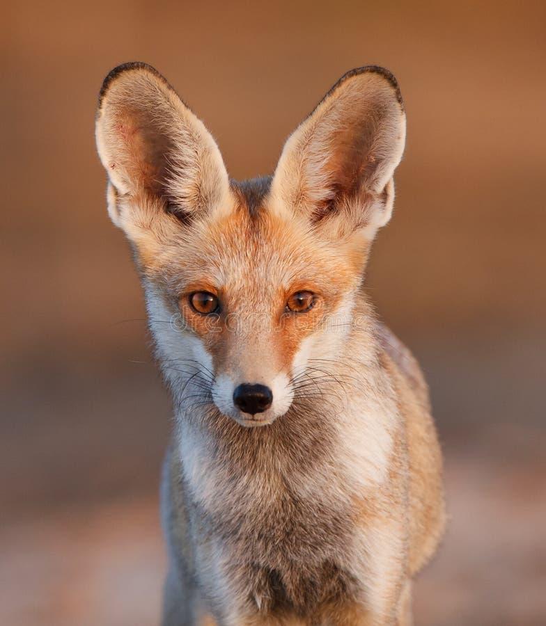 沙漠狐狸 图库摄影