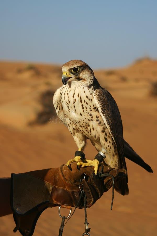 沙漠猎鹰训练术 免版税图库摄影