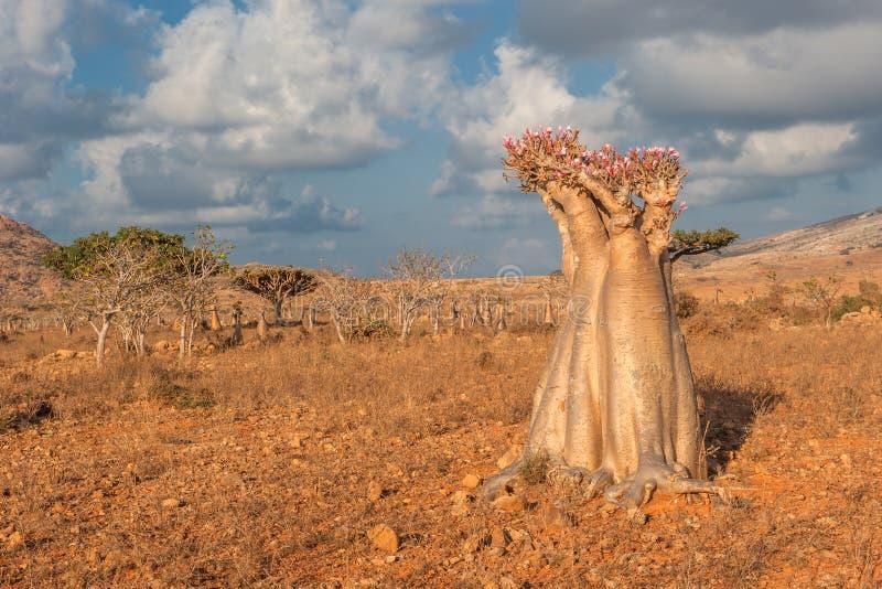 沙漠玫瑰色树,索科特拉岛,也门 库存照片