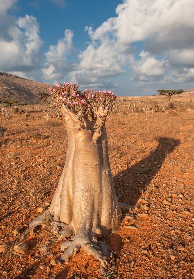 沙漠玫瑰色树,索科特拉岛,也门 免版税库存照片