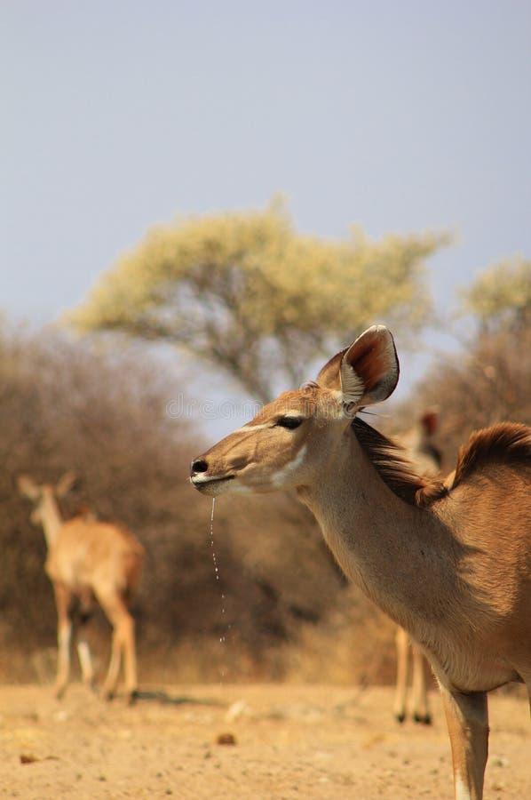 沙漠的金刚石-非洲Kudu羚羊 免版税库存图片