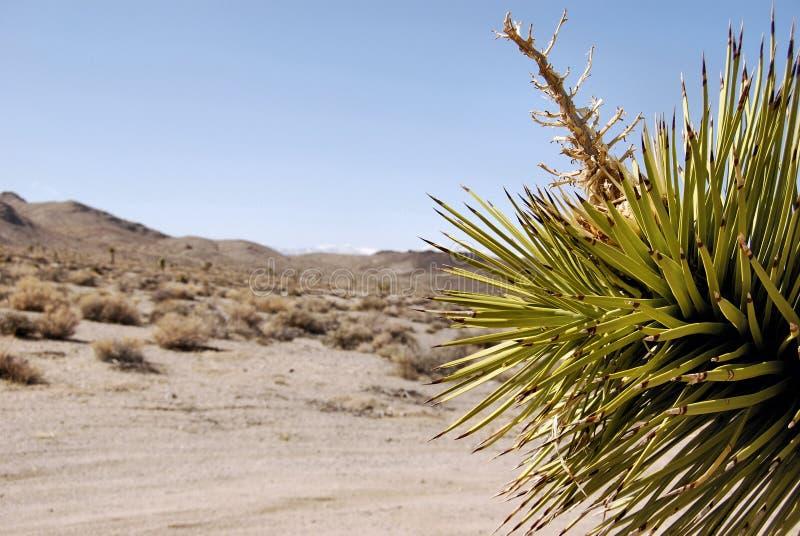 沙漠约书亚树 库存照片