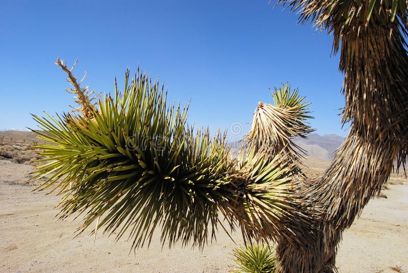 沙漠约书亚树 库存图片
