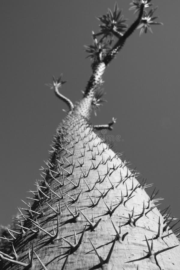 沙漠结构树 图库摄影