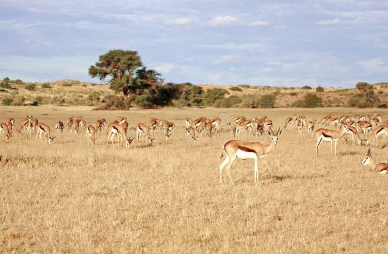 沙漠羚羊 库存照片