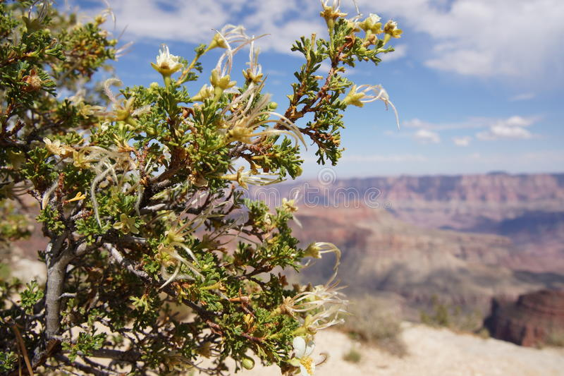 沙漠花大峡谷 库存照片