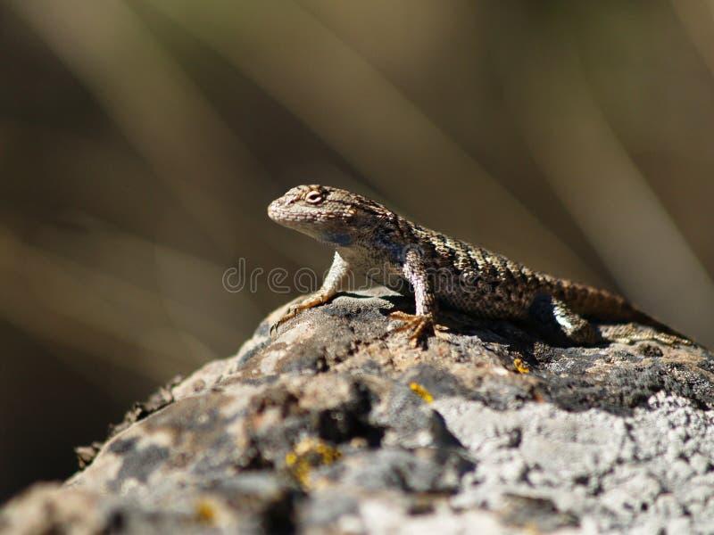 沙漠蜥蜴岩石 库存图片