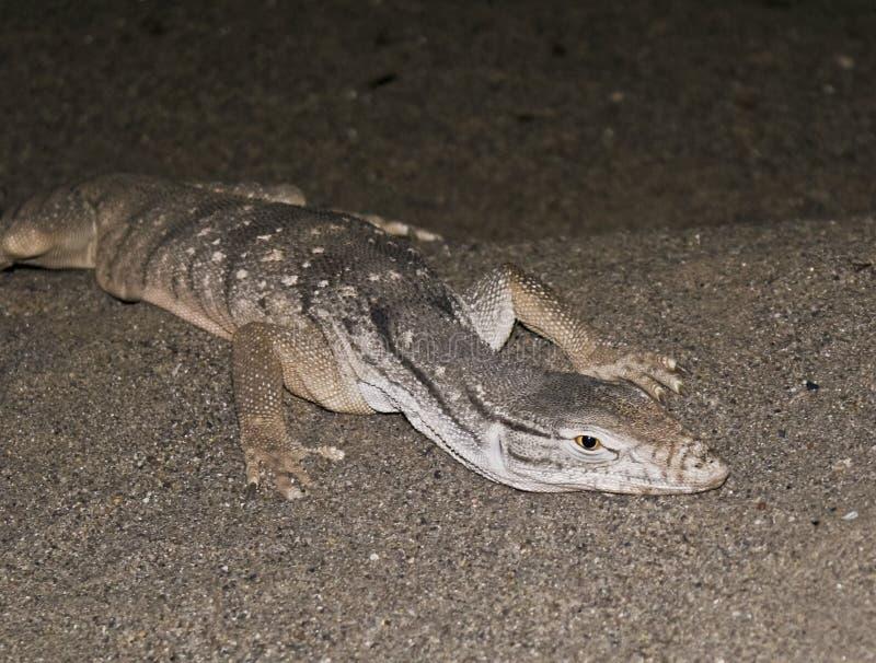 沙漠蜥蜴监控程序沙子 免版税库存照片